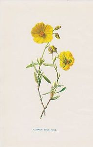 1897 antique Common Rock Rose flower lithograph print by Hulme.