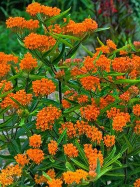 Asclepias Tuberosa (Butterfly Weed)  A punch of intense tangerine orange invites droves of butterflies. A host plant for Monarchs in particular; butterflies also cherish its lavish flower clusters filled with scrumptious nectar. Green seed pods open to glistening silky parachutes that float with the breeze to a new location.  It emerges late in the spring. Requires little care once established. Native to eastern North America.  Learn more at: https://www.bluestoneperennials.com/ASTU.html