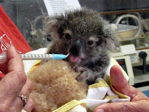 Baby Koala at the Koala Hospital Port Macquarie in New South Wales