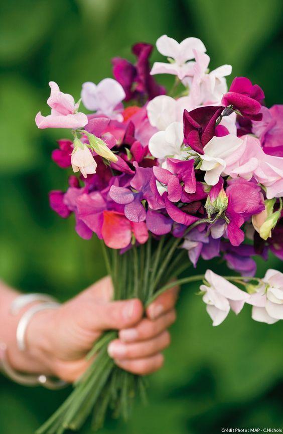 pois de senteur dans une main en bouquet