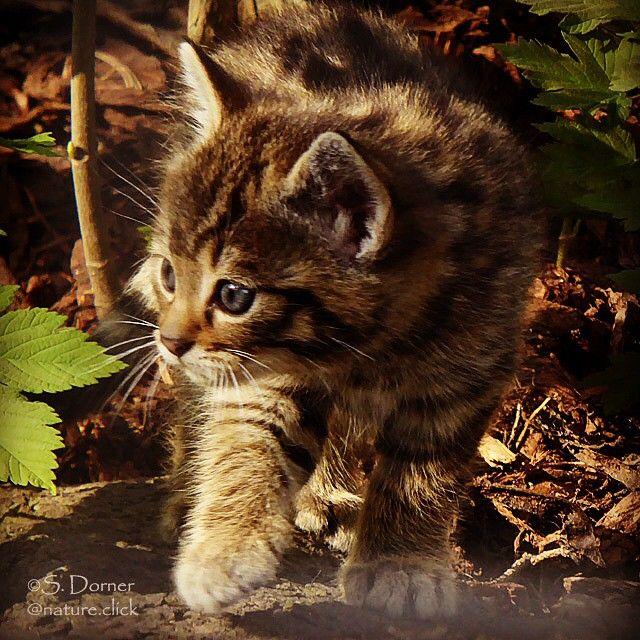 Junge Europäische Wildkatze. European wildcat, Felis silvestris,  Katze, cat