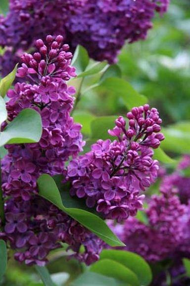 54 best inspiration california friendly gardening for Purple flower shrub california