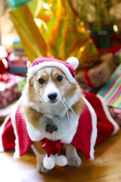 Ese debe ser para mi Rossy! Welsh Pembroke Corgi Puppy Dogs