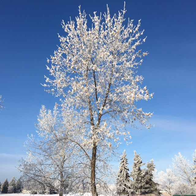 A guardian tree, stands frosted, towering unafraid in the illumination of a frigid winter sun. www.thebestrate.ca