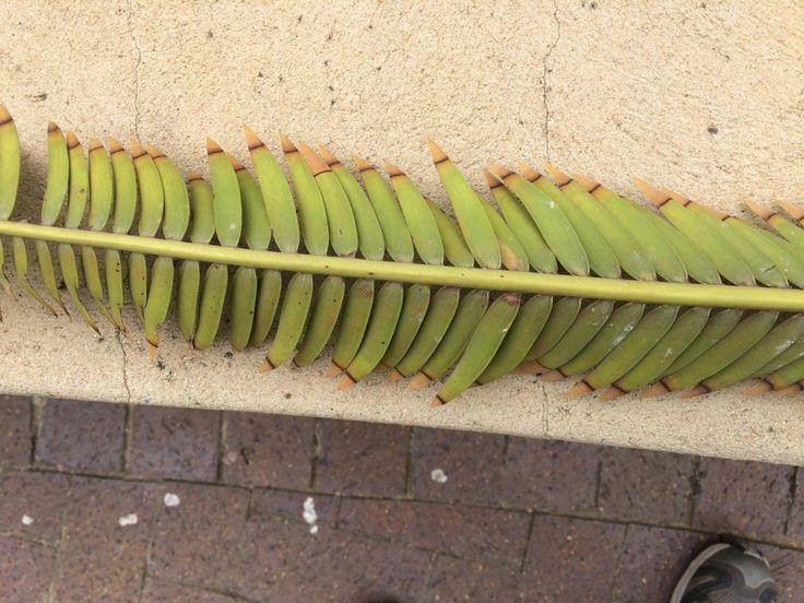 Brevifoliolatus leaf