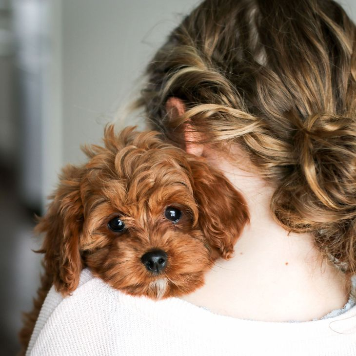 Cavapoo Puppies For Sale Golden Valley Puppies Cavapoo Puppies King Charles Cavalier Mix Poodle In 2020 Cavapoo Puppies Cavapoo Puppies For Sale Puppies For Sale