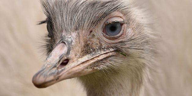 Escaped Giant Rhea Bird Can Disembowel A Human With One Strike