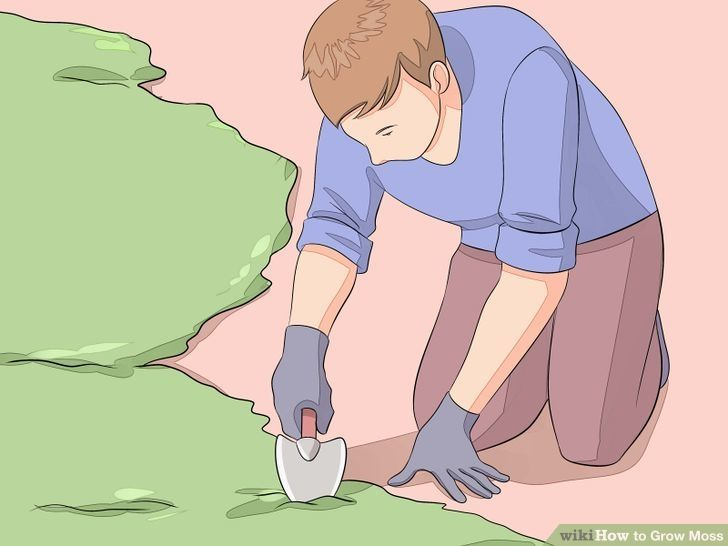 Get a moss starter from another garden or the woods. If you're not too picky about the type of moss you want to grow or are a bit more frugal, try getting your moss from the wild. Simply use a spade to dig a patch out of the ground or off the trunk of a tree. Try to pick up a bit of the matter/soil it is growing out of when you grab it, to help keep it alive and make transplanting easier.