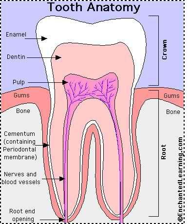 Dental Health Tooth Anatomy  #DentistGrantsville
