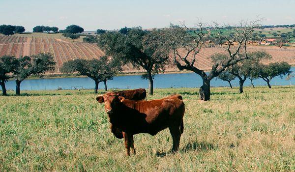 Cows grazing on the Malhadinha Nova estate in Baix Alentejo