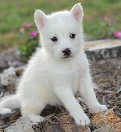 All WHITE  Husky | BLUE EYE AND BROWN EYE