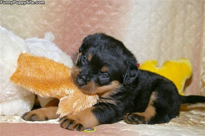 754 best Rotweilers images on Pinterest | Fluffy pets ...
