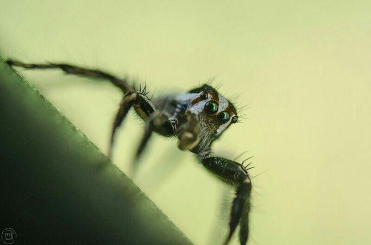 Jumping spider landing