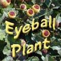 """Looking for an unusual annual to add to containers or in beds? Eyeball plant is not your typical flower - it looks like a yellow olive stuffed with a bright red pimiento """"eye"""". The short plants produce lots of small flowers that add interest when viewed up close."""