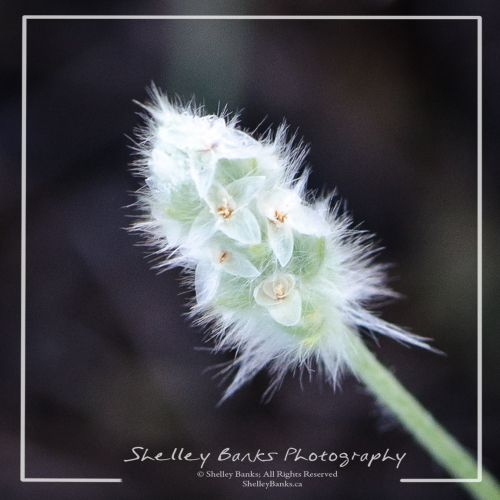 Woolly Plantain. Copyright © Shelley Banks. All Rights Reserved.