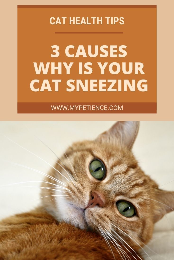 My Cat Is Sneezing Common Causes Of Cat Sneezing In 2020 Cat Sneezing Cat Health Cat Illnesses