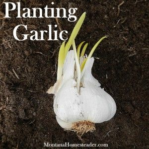 How to plant garlic in your vegetable garden in either the fall or early spring | Montana Homesteader