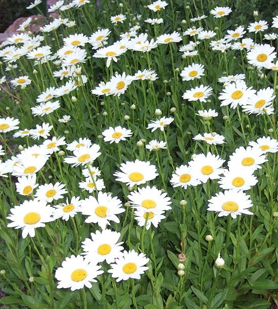 Becky Daisy - I mean, seriously, who doesn't feel  happier when they look at a daisy?