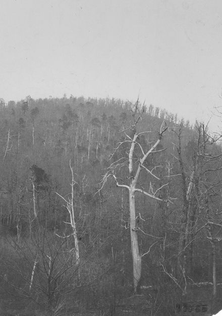 Image ID:  FHS3823 Image Date:  1903  Image Title:  [Dead chestnut trees.]  Image Caption:  Dead chestnut, Skinker Mountains, N.C. Photographer:  [unknown] Use Restrictions:  Permission from the Forest History Society required for any use of this image. Repository Contact Information:  Forest History Society, Inc.; 701 William Vickers Ave., Durham, NC 27701; Tel.: (919) 682-9319; Fax: (919) 682-2349.