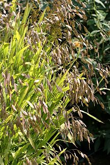 Chasmanthium latifolium jersey sun and under the lights for Ornamental sea grass