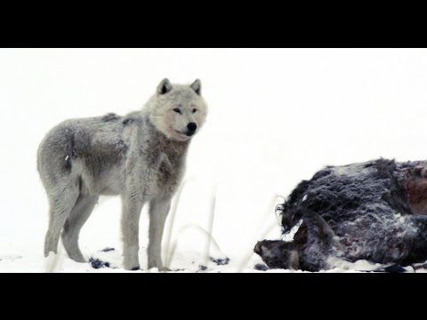 Wonderful Nature: Wolves and Buffalo - Documentary