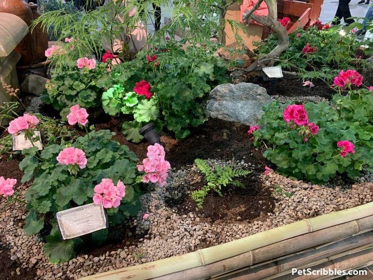 Geranium Care — How to Grow Annual Geraniums Pet