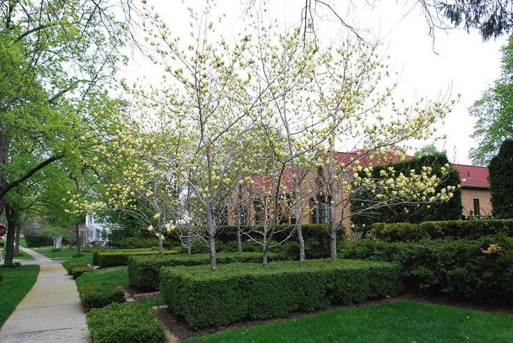 Pequeños árboles ornamentales que crecen en la sombra - http://www.jardineriaon.com/pequenos-arboles-ornamentales-crecen-la-sombra.html #plantas