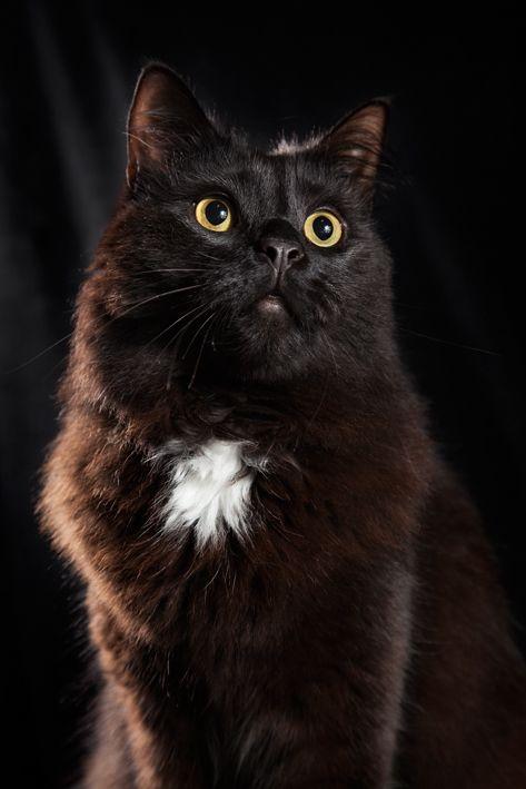 Beautiful Attikus. Cat. Black on Black. Portrait.