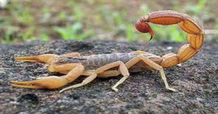 Escorpiões metem medo em muita gente. São rápidos, escondem-se em locais escondidos e escuros, são agressivos e sempre atacam quando se sentem ameaçados. Nunca tente matar um escorpião de perto, eles são muito rápidos. Seu