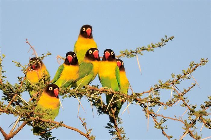 Estes Agapornis nigrigenis mascarados, que vivem na África, apresentam uma plumagem predominantemente verde e amarela. Eles são os menores na família dos papagaios, com uma altura de 14,5 centímetros após a idade adulta.