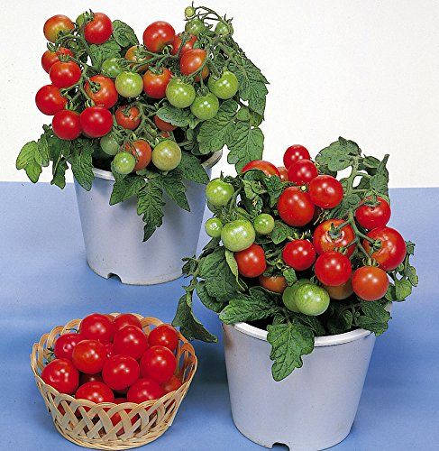 30+ ORGANICALLY GROWN Dwarf Red Robin Tomato Seeds, Heirl.