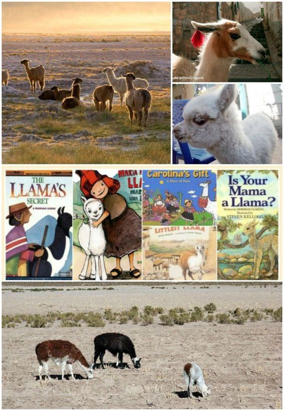 Learn about Llamas! Fascinating facts, books, videos, and history of the Incas and llamas.