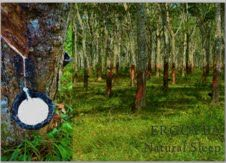 Rubber Plantation in Sri Lanka. Natural rubber is then cured and used in our bedding products.  Naturally resistant to mold, dust-mites, and allergy friendly.