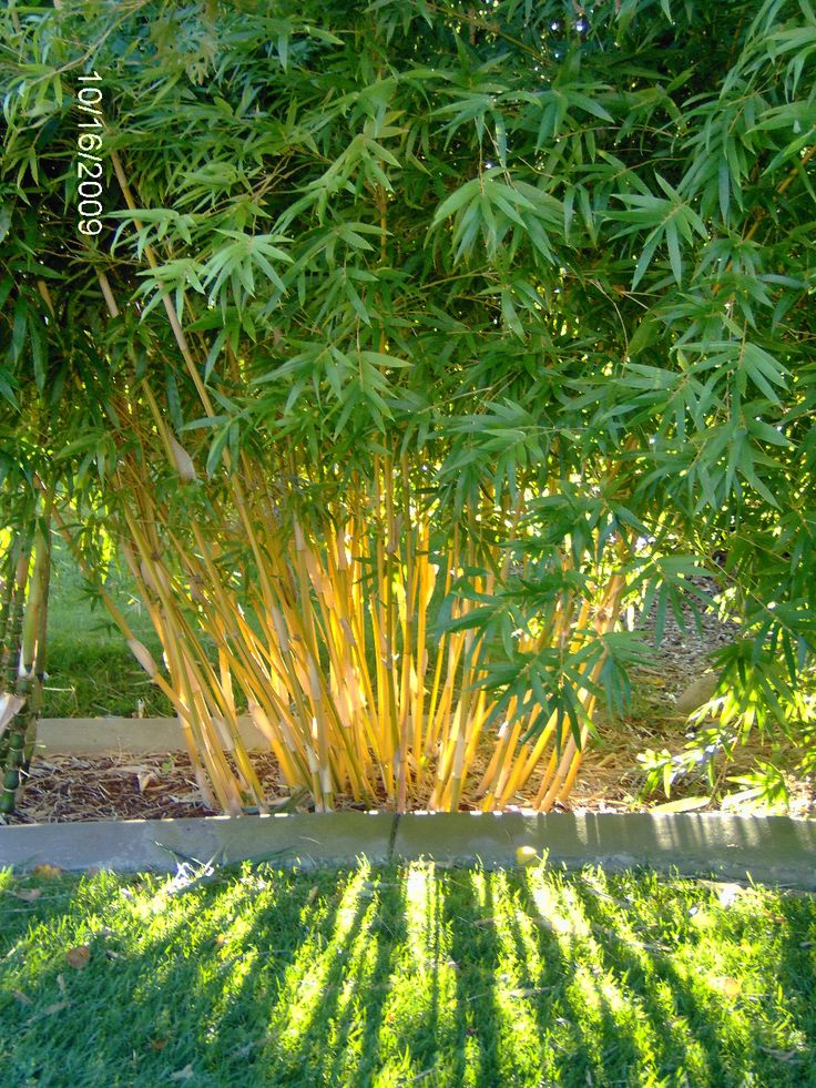Sun filtering through Bambusa multiplex 'Alphonse Karr', a non-invasive clumping bamboo.  This is in the bamboo garden at Mad Man Bamboo Nursery in Rocklin, CA. www.madmanbamboo.com
