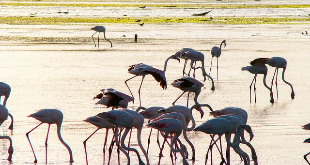 Flamingoes in the bay of Seixal