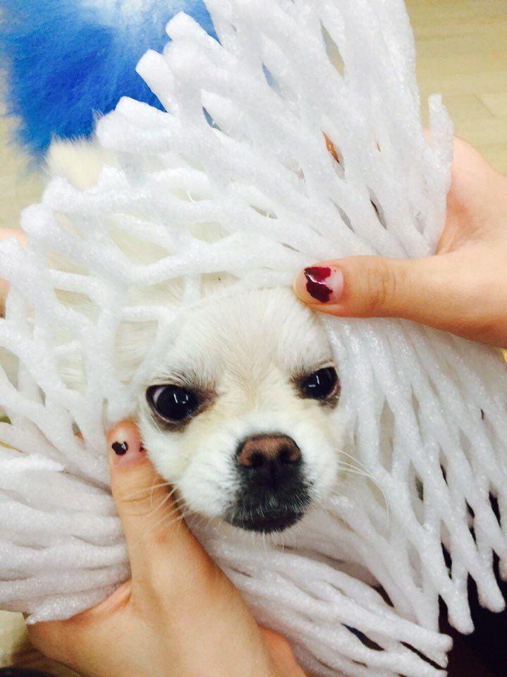 I M So Strong Come Here Https Www Alohateacuppuppies Com Pom Micropom Pompom Teacupp Teacup Puppies Teacup Puppies For Sale Puppies Funny