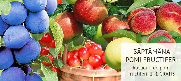 Doar azi mai poți beneficia de SUPER OFERTA 1+1 GRATIS > 1 PUIET de pom fructifer COMANDAT, ți-l aduce pe al 2-lea GRATUIT! Comandă aici> https://gradinamax.ro/promotii/pomi-fructiferi-2-la-pret-de-1!