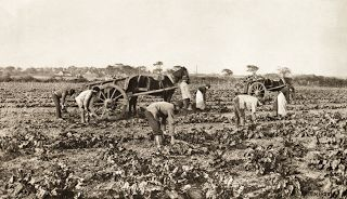 The Marigold Harvest Peter Henry Emerson