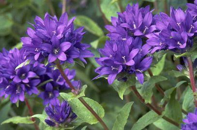 Herbaceous: Campanula glomerata