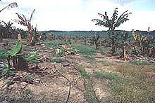 Panama Disease (Fusasrium Wilt of banana): A Classic and Destructive Disease of Banana