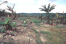 Panama Disease (Fusasrium Wilt of banana): A Classic and Destructive Disease of Banana