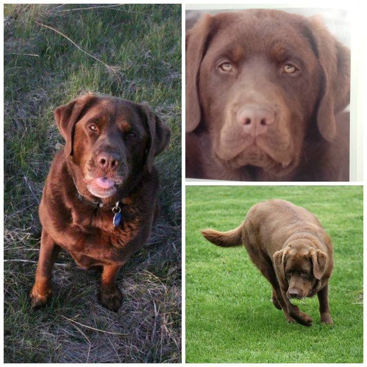 Mac missing since Aug 2014 from South West of Perth close to Ferrier rd. and Allans Side rd, Perth,ON.  He is a neutered 6-7 year old Chocolate Lab x duck tolling retriever, and was wearing a blue collar with ID and contact tags.  If found or seen please contact owner at (613) 264-2978 and bobmacbain@live.com