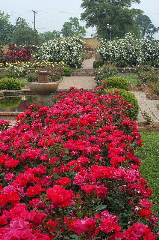 Knock Out Roses As A Quot Hedge Quot In The Eastern Side Of Our