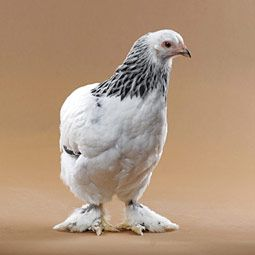 Light Brahma Hen...One of the breeds of my backyard flock.