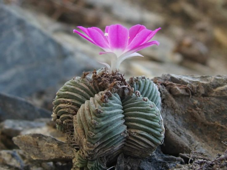 Aztekium valdezii is a small cactus up to 2.4 inches (6 cm) tall in habitat, star-shaped when viewed from above, simple or branched from...
