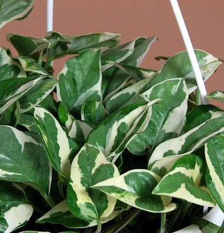 "Double Dip Devil's Ivy - Epipremnum aureum - 6"""" Hanging Basket - NEW/EASY"