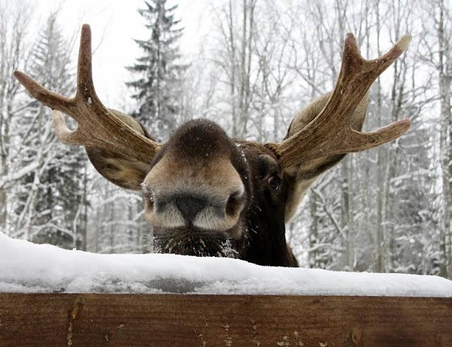 Winter Heimo