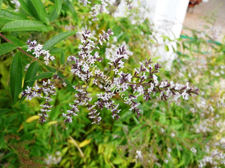 The flowers of the plant lemon verbena.
