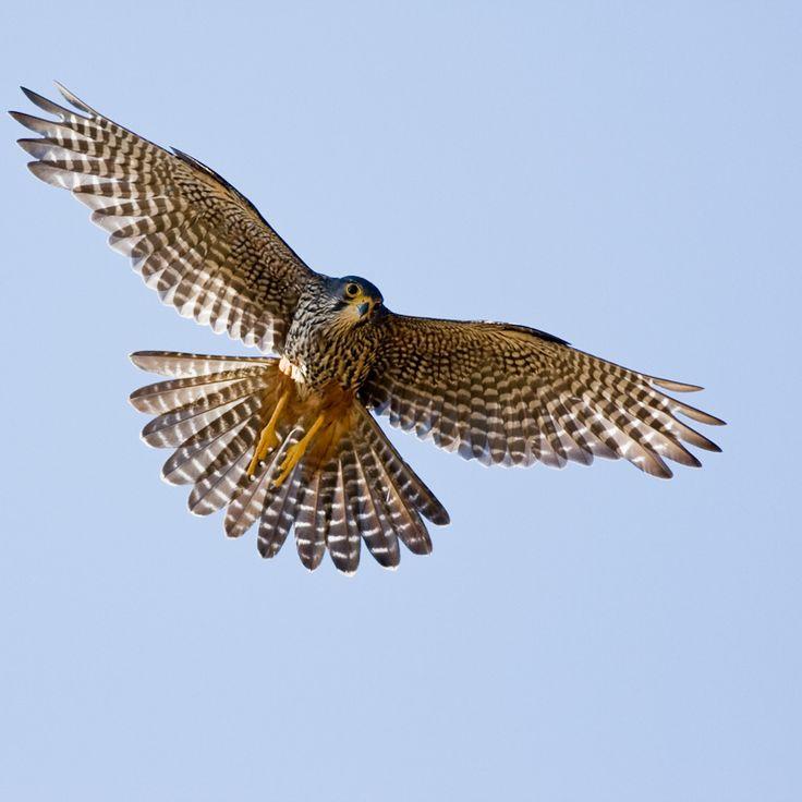 New Zealand falcon or kārearea (Falco novaeseelandiae), near threatened