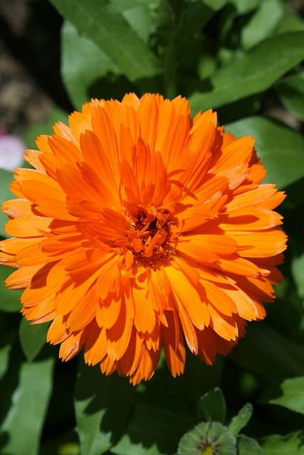 Calendula Goudsbloem - edible flower that not only adds color to the vegetable garden but can also help prevent nasty squash bugs from attacking the veggies.